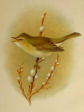 1909 British Warblers Print Female Chiff Chaff ~ GrÖnvold Art