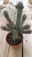 EUPHORBIA BAIONENSIS Esqueje rama Stem Cutting Succulent plant Rare Collectors