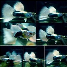 1 Pair - Live Guppy Fish High Quality - Half Black White BDS- USA Seller