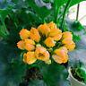 5PCS Yellow Geranium Seeds Bonsai Pelargonium Peltatum Perennial Garden Flower