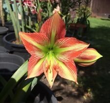 Species Hippeastrum  Cross 18 Mth Old Offset Rare Offer For The Collector