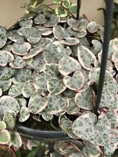 Variagated Ceropegia Woodii String of Hearts, Rosary Vine,  one fresh cutting