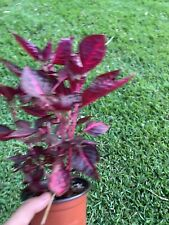 Iresine Herbstii 'Chicken Gizzard' Or 'Blood Leaf' - 4� Pot Rooted Organic