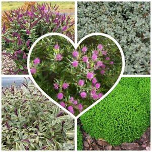 18 Mixed Hebe Evergreen Garden Shrub Colourful