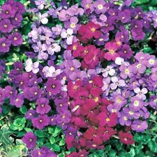8 trailing Aubretia Axcent mezclado Hardy Perenne Aubrieta grandes plantas de enchufe