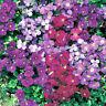8 Trailing Aubretia MIXED Jumbo Plug Plants Hardy Alpine perennial Aubrieta