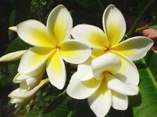 Frangipani - Plumeria (plumerias) 1 x Established Plant 25 - 35cm