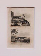 Buffon Antiguo montado impresión c.1800 - grabado-nutria, Fisher, visón