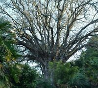 Wingnut tree! Giant majestic tree! Very RARE! Fast growing! Fully hardy!