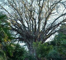 Wingnut árbol! gigante majestuoso árbol! muy Raro! rápido Crecimiento! totalmente Hardy!