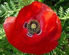 50000+ Samen Roter Klatschmohn - Papaver rhoeas - Mohn - Blumenwiese -Poppy seed