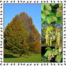 European Hornbeam - Carpinus Betulus 20+ viable seeds/ package - YourSeedShop