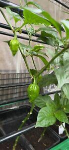 Bangladeshi Hot Chilli Naga Moris Plant With Fruit