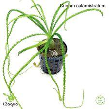 Crinum calamistratum Bulb Live Aquarium Plant Shrimp Safe Aquascape Tank Co2
