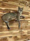 Beautiful North American bobcat mount.No reserve