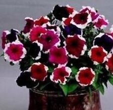 Petunia - Candy Picotee Mixed - 20 Seeds