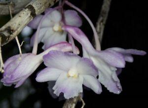 Orchid Dendrobium cumulatum  Species