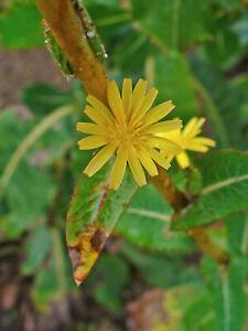 25 Samen Lactuca virosa, Giftlattich, Wilder Lattich, Stinklattich
