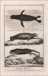 SEAL, WALRUS, OTTER of Canada by Diderot & D'Alembert, antique engraving 1774