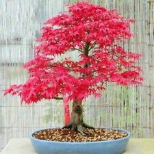 20X Mini Red Atropurpureum Japanese Maple Palmatum Plant Tree Rare Seeds Bonsai
