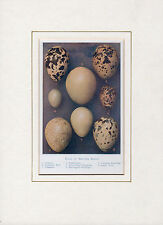 Eggs of British Birds (Dotterel, Pheasant, etc.) Antiquarian Print -