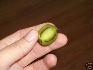 50 Seeds, Hardy Kiwi Berry Actinidia arguta Baby Grape Cocktail Arctic Kiwifruit