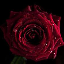120 Hybrid Tea Rose Black Pearl Seeds Good Aroma DIY Home Garden Bonsai Flower