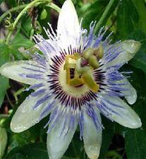 100 Passion Flower Passion Vine Seed (Passiflora Caerulea) Bulk Seeds