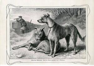 c1900 HUNTING SCOTISH DEERHOUND DOGS  Antique Engraving Print Paul Matschie