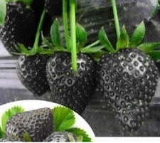 Bulk Seeds 200 Black Strawberry Seeds Organic For Garden Home Fruit Seeds S005