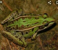 3 Southern Leopard Frog Live Tadpoles Pond Life - Morphing Stage - Missouri