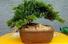 Large Juniper Bonsai Tree