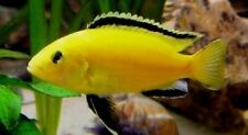Tropical Fish, African Cichlids,  3 Electric Yellow Labs, FREE SHIPPING!