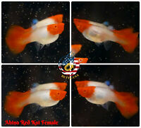 FEMALE ONLY - Live Aquarium Guppy Fish High Quality - Abino Red Koi - USA Seller