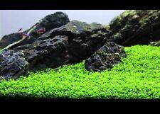 EXPRESS DELIVERY Micranthemum Monte Carlo  MC Live Aquarium/Fish Tank Plant