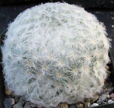 Mammillaria plumosa Cactus covered in soft Dandelion plumes!