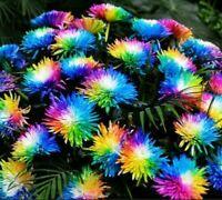 Rainbow Chrysanthemum Bonsai Plant Tree House Herb Garden Flower Decor 100 Seeds