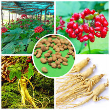 50x Chinese/Korean Panax Ginseng Seeds Asian Fresh For Planting Nutrition hot se