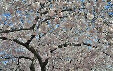 "CHERRY BLOSSOMS IN WASHINGTON DC 16 ZX 20"" PRINT ON CANVAS"