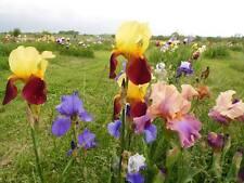 New listing Lot 20 Fresh Sprouted Mixed Bearded Iris Rhizome Bulbs