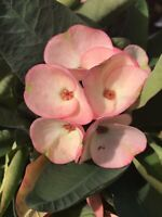 Bridal Bouquet Crown of Thorns Cuttings/Corona de Cristo/Euphorbia Milii Thai Hy