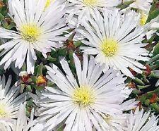50+ DELOSPERMA WHITE ICE PLANT FLOWER SEEDS /PERENNIAL