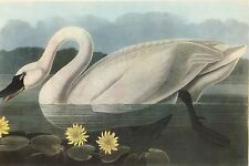 "JAMES AUDUBON 1937 Book Print ""WHISTLING SWAN"" Birds of America Painting"