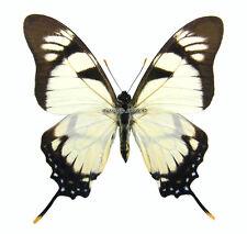 Unmounted Butterfly/Papilionidae - Eurytides dolicaon deicoon, male, Brasil