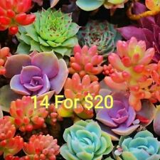 14  different succulents plants for $20, No repeat