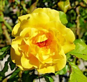 """15 GOLDEN GATE YELLOW CLIMBING ROSE SEEDS -  Rosa """" Golden Gate """""""