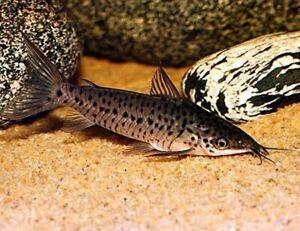 *SALE* Porthole Catfish