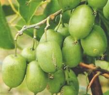 Actínidos arguta - 50 semillas-Tara Vid/Hardy Kiwi