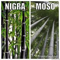 Bamboo Collection x 40 Seeds Phyllostachys Nigra Black & Giant Moso P. Edulis