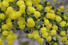 Gold Dust Wattle Seed Hardy Medium Shrub Ball Flowers Frost & Drought Tolerant